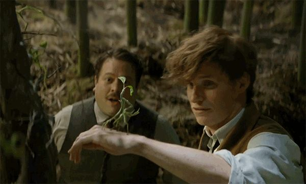 "Bowtruckle/Tronquilho - Fantastic Beasts And Where To Find Them   At Comic-Con 2016, Eddie Redmayne choose a Bowtruckle he calls ""Picket"" as his favourite beast in the film inspired by Fantastic Beasts and Where to Find Them"