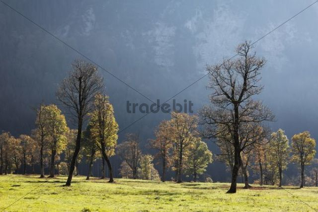 Autumnal trees sycamore maple (Acer pseudoplatanus) Grosser Ahornboden pasture with maple trees Eng-Tal valley Risstal Karwendel Mountains Tyrol Austria Germany Europe