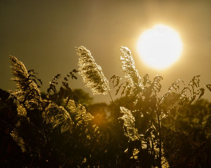 A nature photograph of the setting sun behind marsh grasses one hazy summer day.  Title: Golden Marsh Weeds Photographer: Melissa Fague Genre: Nature Photography Get prints and usage license: www.pipafineart.com #awesomeearth #awesome_earthpix #fantastic_earth #therare_earth #nature #NatureGeography #nuc_mbr #nature_perfection #naturelovers #naturelover #naturephotography #ilovenature #natureaddicts #natureporn #mothernature #naturephoto