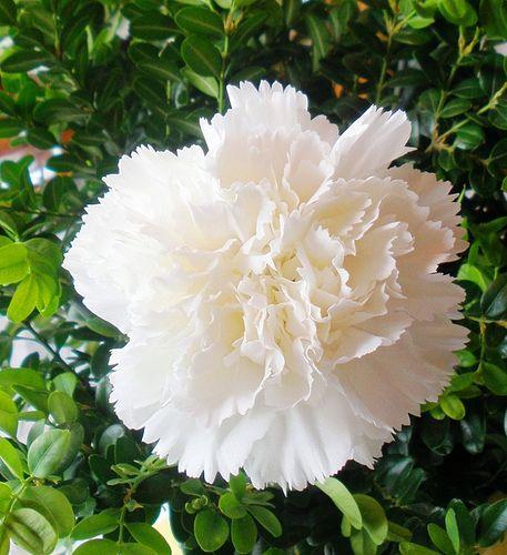 https://flic.kr/p/6osJFx | Cravo Branco  /  White Carnation