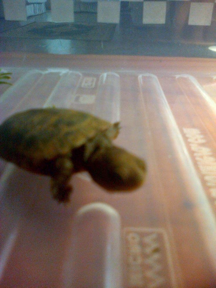 Cats of Claridge: A Baby Tortoise :)