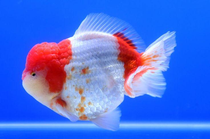 Oranda Gold Fish 11