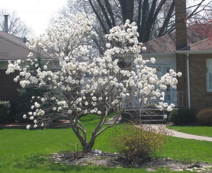 Dwarf japanese magnolia pictures to pin on pinterest for Best dwarf trees for landscaping