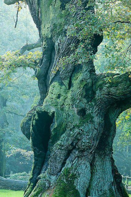 700-year old oak tree at Rogaliński Park Krajobrazowy (Naturpark Rogalin), Mosina, Wielkopolskie, Poland