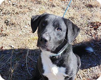 Labradors labrador retriever mix and dogs for adoption on pinterest