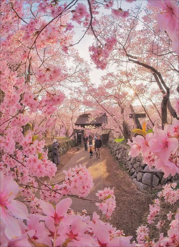 The Bloom Of Cherry Blossoms In Japan Traveller Cherry Blossom Japan Beautiful Nature Aesthetic Photography Nature