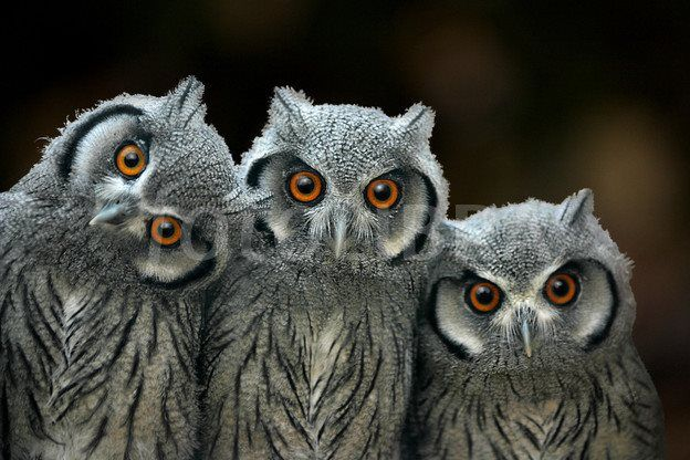 Three baby scops owls Copyright 2006 Linda Wright / fotoLibra. All Rights Reserved  (Our Beautiful World & Universe - fb)