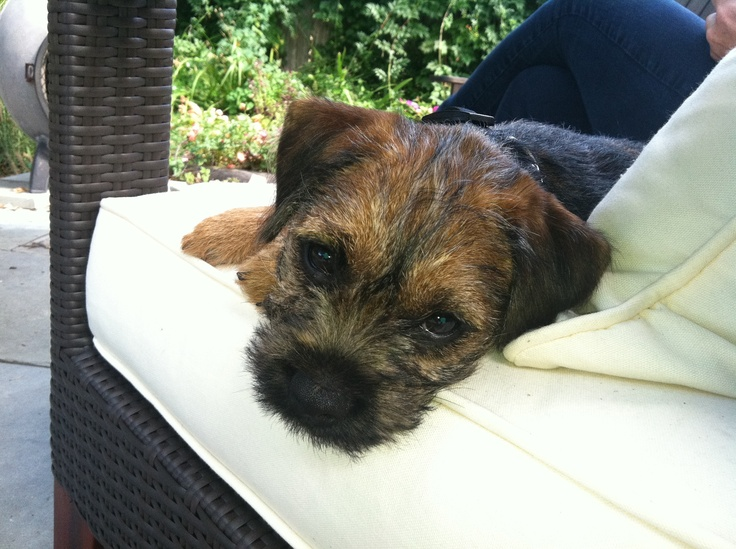 Ike, our Border Terrier. Oh my lanta so cute