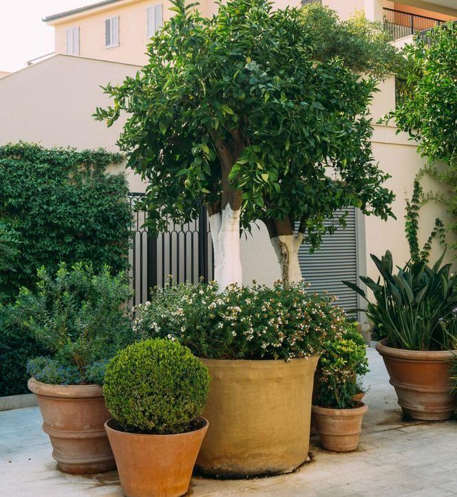 Drzewa W Donicach Murator Pl Most Beautiful Gardens French Garden Plants