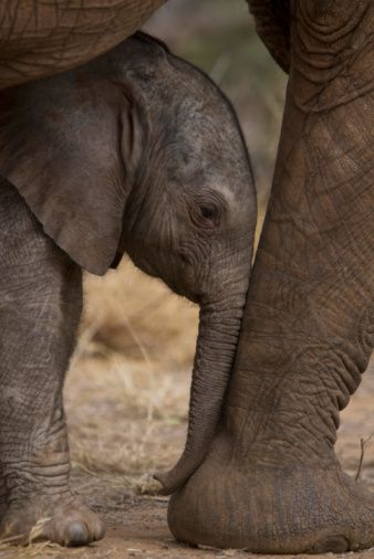 An Elephant Calf Finds Shelter Amid Its Mothers Legs. Photo by Michael Nichols. °