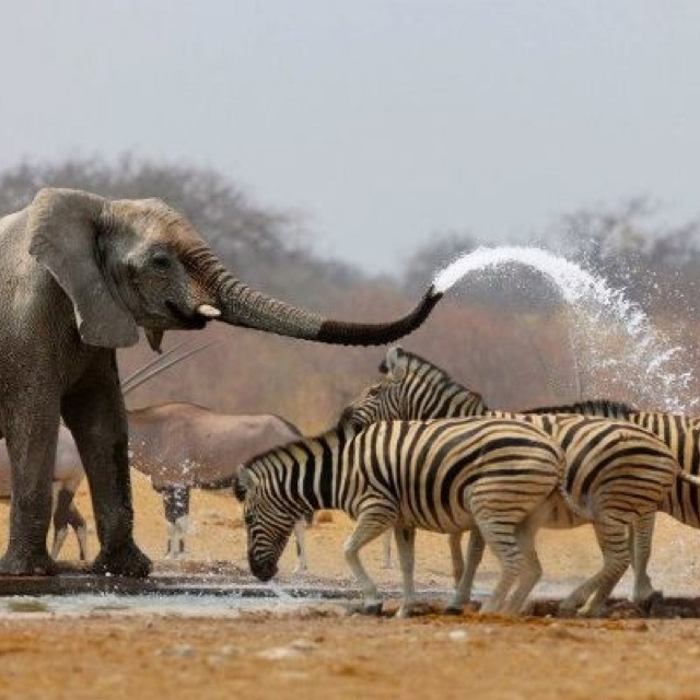 Helping zebras to cool off This would be me if I were an elephant                                                                                                                                                     More