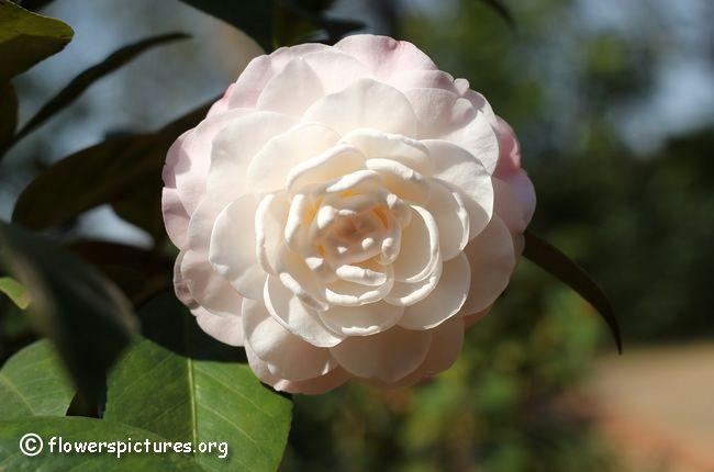 Camellia flower (74)