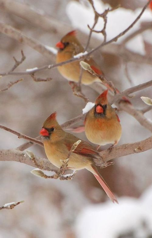 1732 best Cardinal pictures images on Pinterest  Cardinal birds
