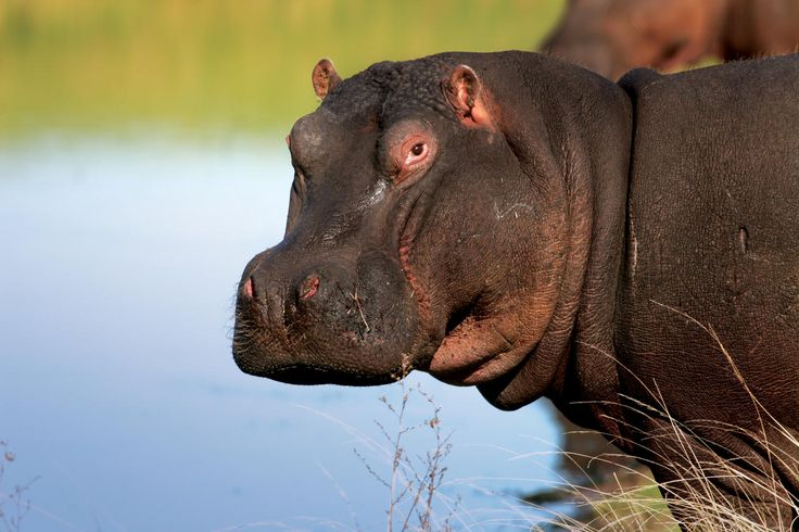 Did you know that hippos can hold their breath underwater for up to five minutes?  Come to Africa: