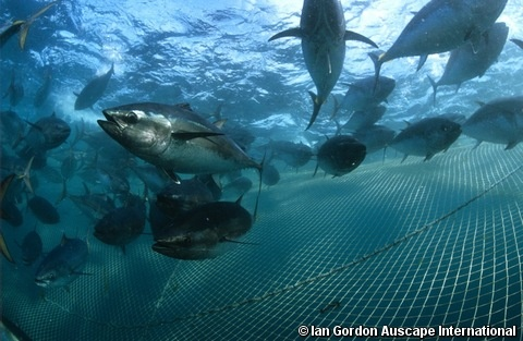 Southern Bluefin Tuna. This species has been intensively fished since the early 1950s. Its generation length is conservatively estimated to be 12 years. Estimated spawning stock biomass has declined approximately 85% over the past 36 years (1973–2009) and there is no sign that the spawning stock is rebuilding. It is therefore listed as Critically Endangered. Implementation of effective conservation and management measures are urgently needed.