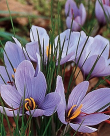 VISIT GREECE| The Kozani Crocus grows from a small rounded bulb which is planted during the late summer or early fall and produces small purple flowers, with three red-gold stigmas strands in each flower. Saffron spice is made from these dried strands. The product owes its beneficiary properties to the particular soil and climatic conditions of #Kozani area. Ckeck out here:http://www.visitgreece.gr/en/gastronomy/traditional_products/kozani_crocus