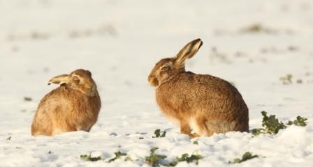 Hares in the snow by Robert Fuller
