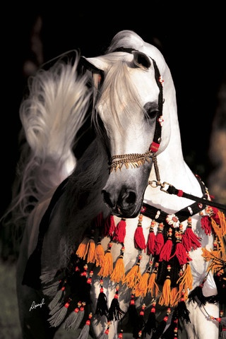 The Arabian or Arab horse (Arabic: الحصان العربي  [ ħisˤaːn ʕarabiː], DMG ḥiṣān ʿarabī) is a breed of horse that originated on the Arabian Peninsula. With a distinctive head shape and high tail carriage, the Arabian is one of the most easily recognizable horse breeds in the world.