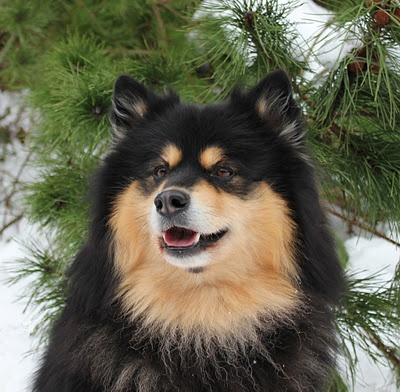 17 Best images about Lapinkoira - Lapphund on Pinterest ...