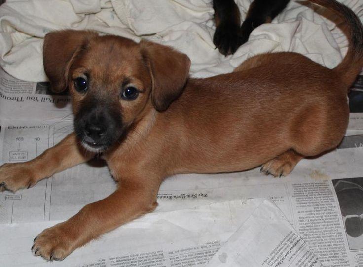 Adopt Monte on Dachshund dog, Adoptable dachshund dog