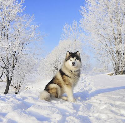 Alaskan Malamute i always wanted one and a goldenretriever. maybe when jazz is gettin old