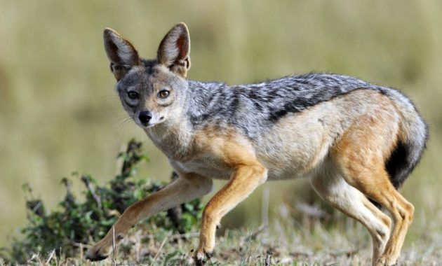 10 Spectacular Animals That Start With The Letter J Animals Jackal Black Backed Jackal
