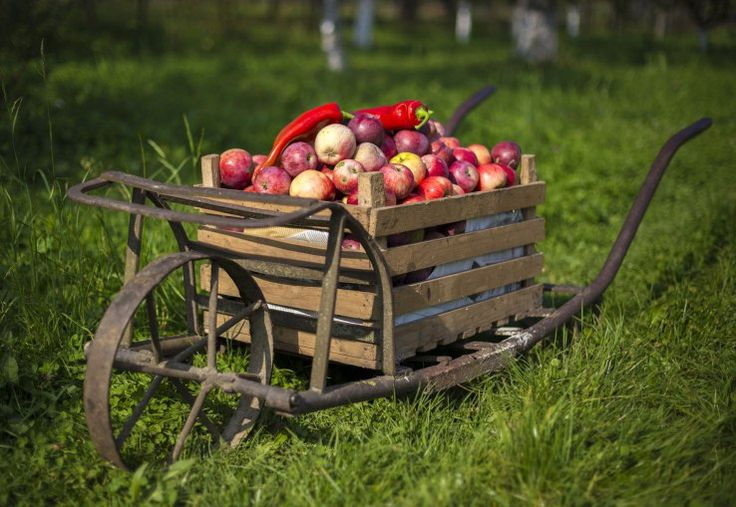 Apples are the second most commonly consumed fruit in the U.S., according to…