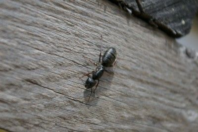 How Do I Get Rid Of Carpenter Ants: Home Remedies For Carpenter Ants - Carpenter ants may be may be small in stature, but their damage can be destructive. Get tips on home remedies for getting rid of these pests in the following article. Read here for more information.