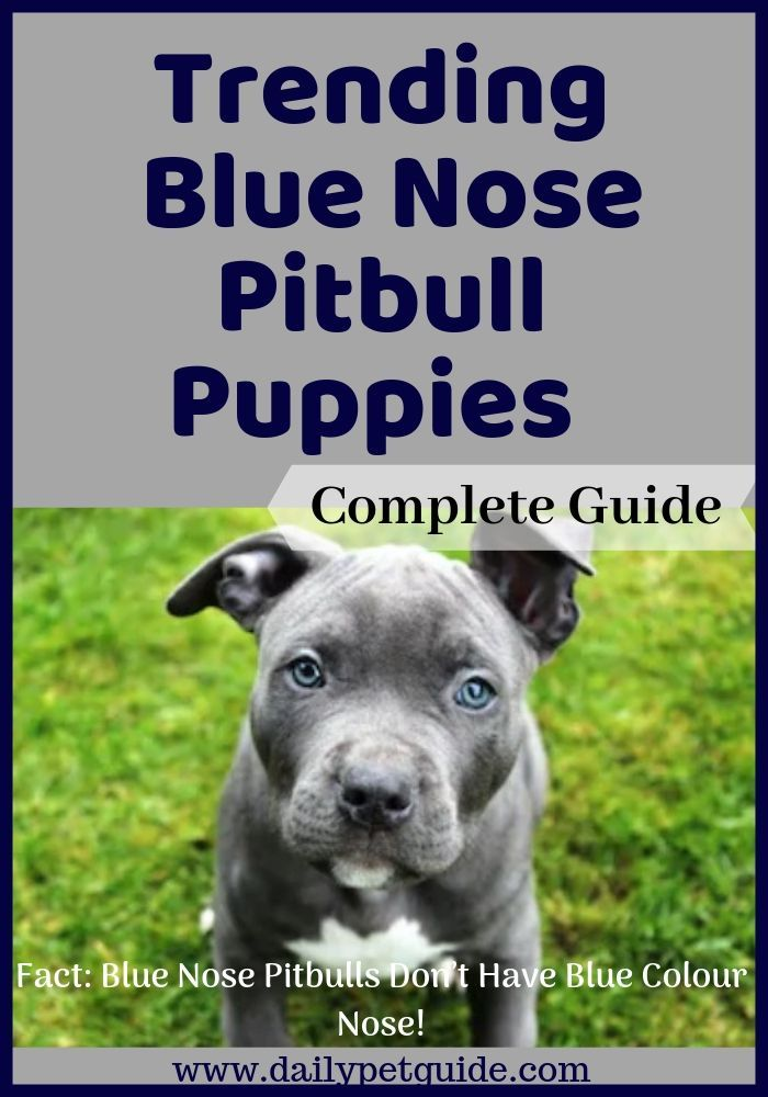 Bluenose Pitbulls Are Generally Bred To Grow Very Strong And