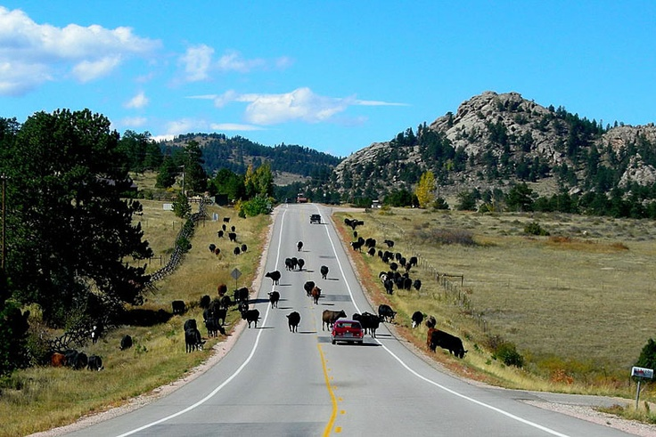 Cattle Drive on Cnty Rd 74, our back yard
