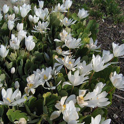 image de Sanguinaria canadensis