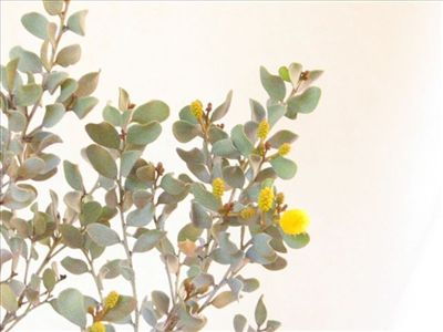 Acacia craspedocarpa • Australian Native Plants Nursery • Plants • 800.701.6517
