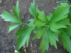 Lubczyk - naturalna przyprawa maggi - Artykuły kulinarne - Porady, ciekawostki, przepisy