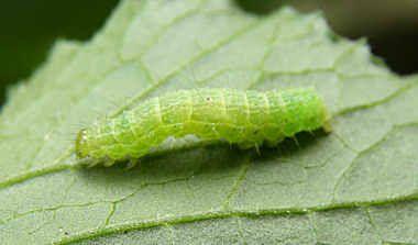 kålsommerfugl larve - Google-søk