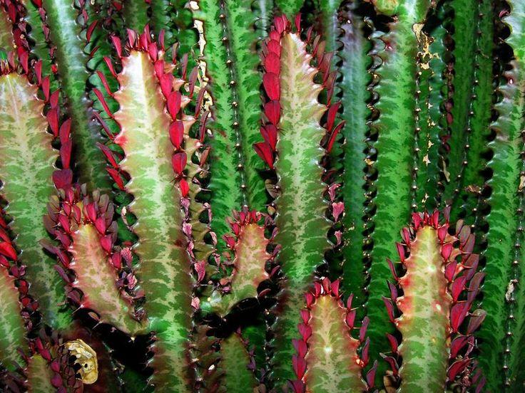 17 mejores im genes sobre cactos e suculentas en pinterest for Como plantar cactus