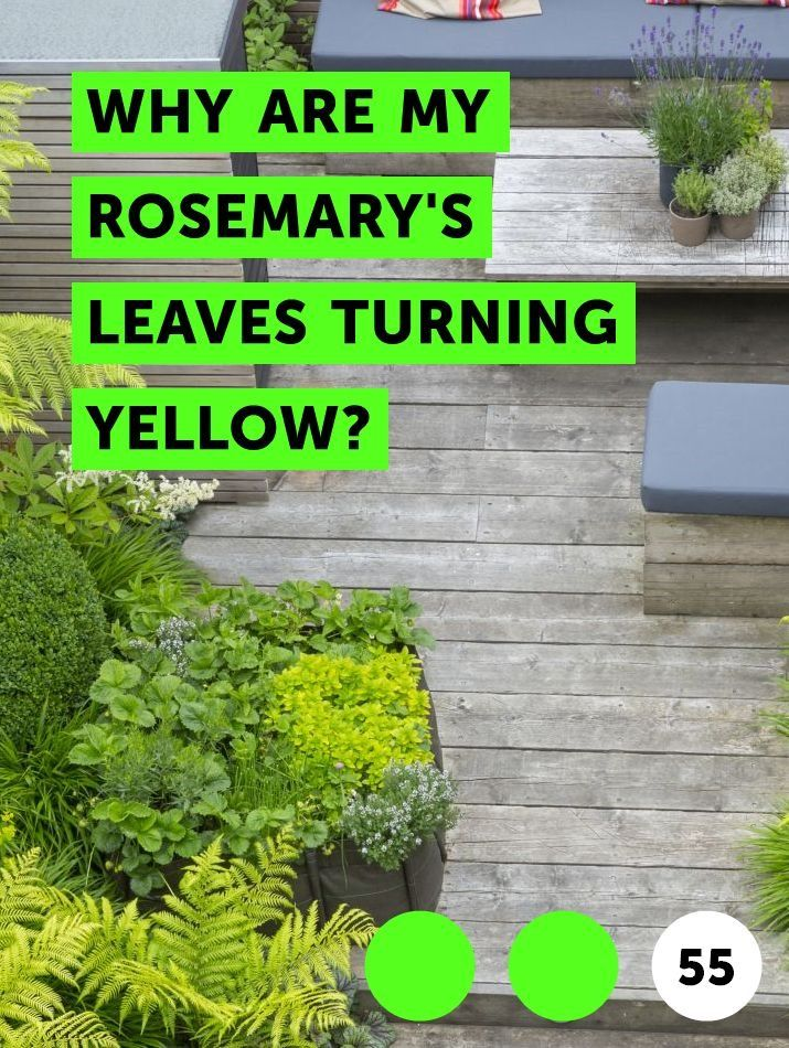 Learn Why Are My Rosemary S Leaves Turning Yellow How To Guides Tips And Tricks Plants Rosemary Plant Lavender Plant