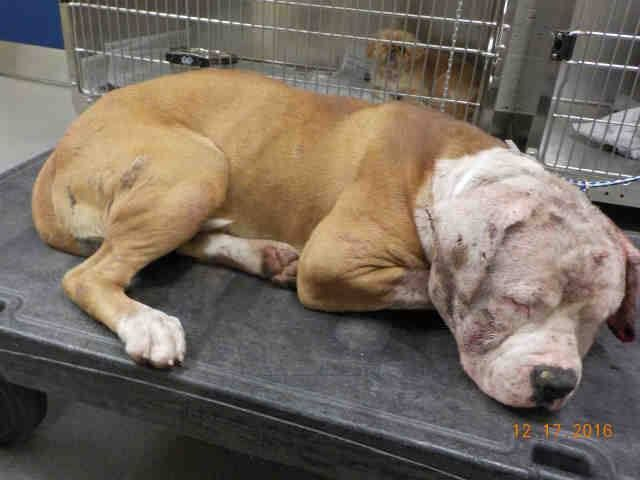 ALFRED (A1838625) I am a male brown and white American Bulldog. The shelter staff think I am about 1 year and 6 months old and I weigh 76 pounds. I was found as a stray and I may be available for adoption on 12/21/2016 Miami Dade https://www.facebook.com/urgentdogsofmiami/photos/a.486578298043245.118211.191859757515102/1390930654274667/?type=3&theater