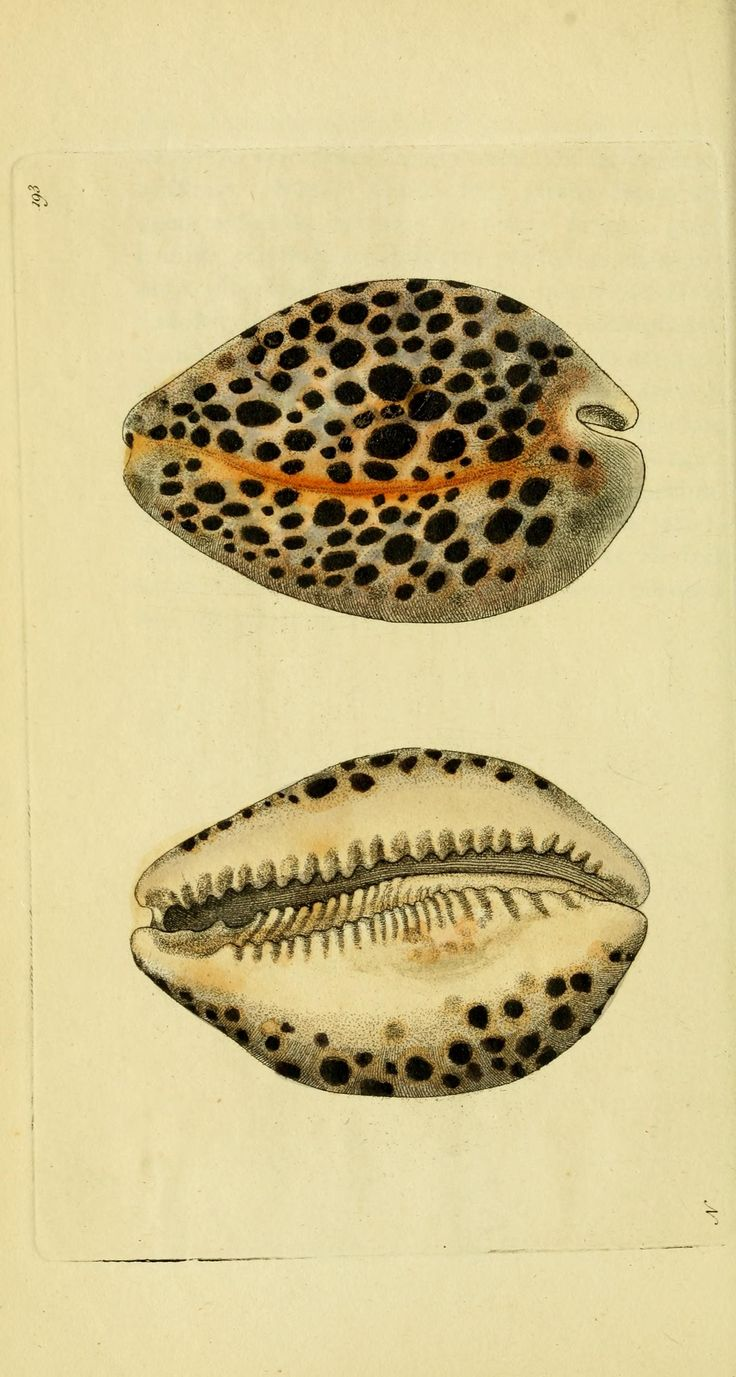 Leopard Cowry ~ By George Shaw