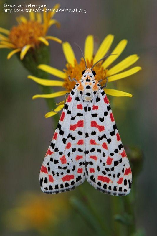 Crimson-speckled Flunkey (Utetheisa pulchella)