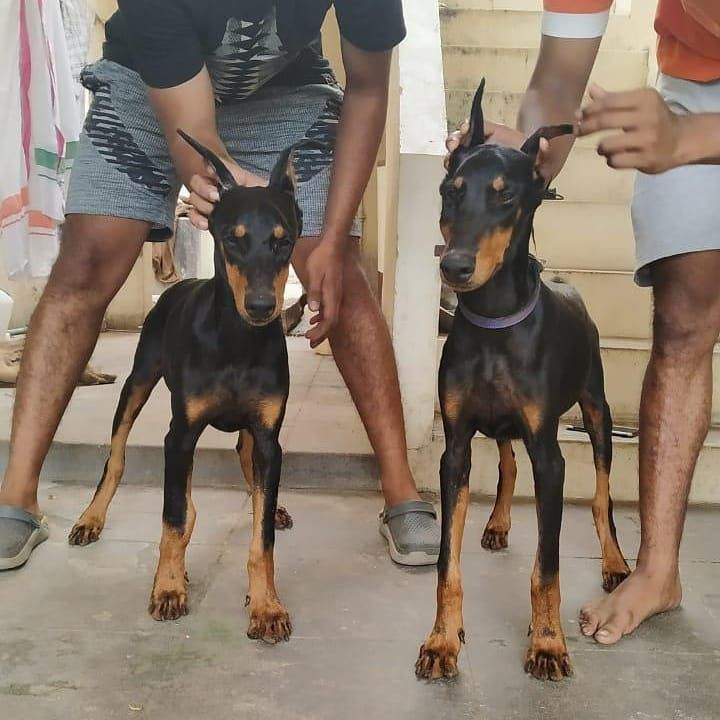 European Lineage Doberman Female Puppies For Sale Ear Cropped Champion Lineage Deliverey Not Available Cont Doberman Puppies For Sale Doberman Puppy Cat Selfie