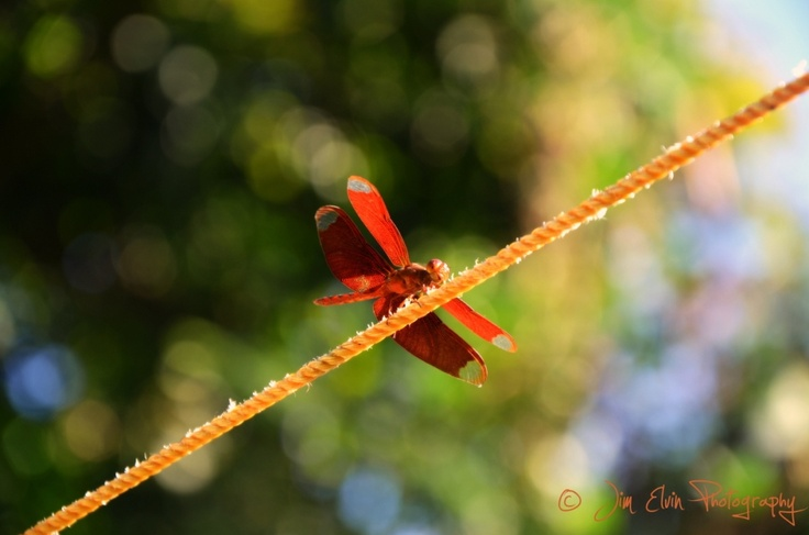 You may call it devil's needle or ear cutter but for me it's the symbol of agility. Photographed this beautiful dragonfly in the vegetable garden behind my mother's house.