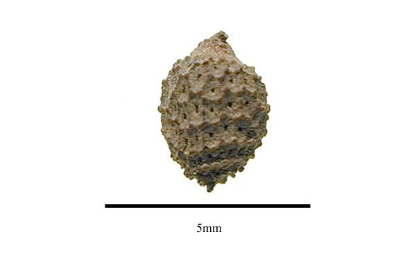 http://www.ars-grin.gov/npgs/images/sbml/Acharia_tragodes_seed.jpg