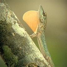 The Origin of Species: Lizards in an Evolutionary Tree --short film from HHMI's BioInteractive