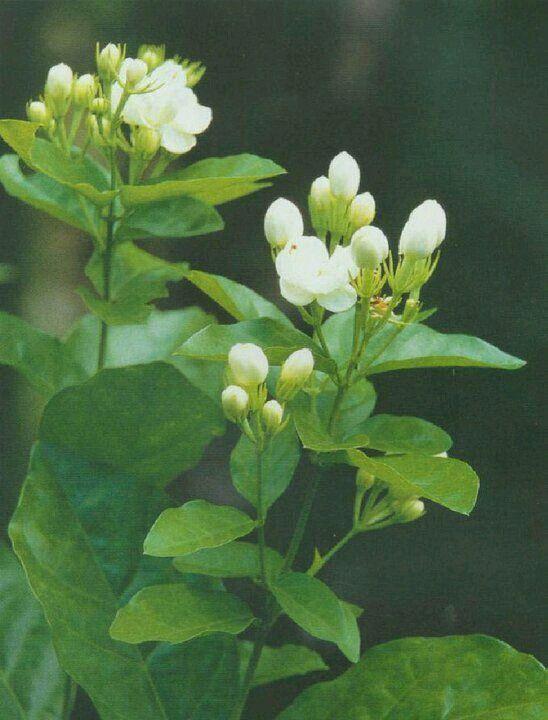 Pin By Flowers In Heart On Jasmine စ ပယ ပန လ