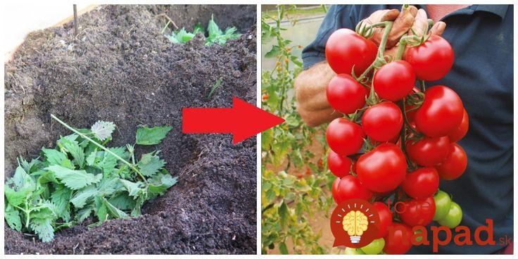 Je zadarmo a keď budete sadiť do zeme priesady, už bude určite rozrastená všade naokolo. Na túto starú metódu sadenia sa takmer zabudlo, no je veľmi prospešná a dokáže rastlinkám ohromne pomôcť a to nielen