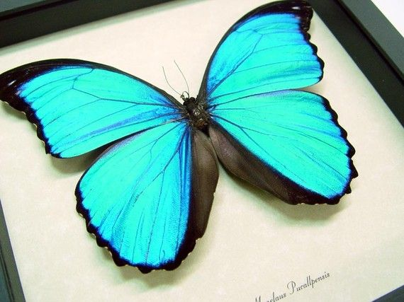 Sealed Conservation Quality Blue Morpho by REALBUTTERFLYGIFTS, $79.99