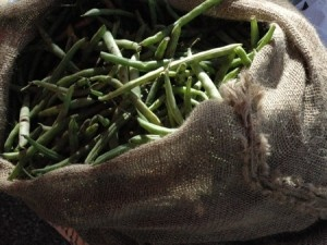 Green Beans and Containers Pound for pound green beans are a nutritious, productive, and easy-to-grow crop. Beans adapt well to containers, so you can enjoy their crisp snap and tender taste even i...