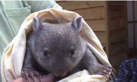 Hairless Wombat Pet The 25+ best Baby womb...