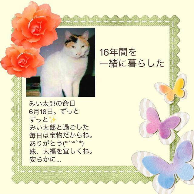 ずっと忘れないよ。 私が中学生の時に家の家族になったよね(*'-'*)それからの16年間、私達家族の大切な存在だったね🌸 何時も凛としていて優しくて可愛いけど姐さん的で、しっかり猫で美猫さんだったね✨。 私の中では、みい太郎が美猫🌹きなこが可愛い🌼大福がチャーミング🌸(*´꒳`*)なんでした。 そんな感じでしょ…(笑)  #6月18日命日#虹の橋のベテラン🌈✨#安らかに#愛猫 #三毛猫 #みけ猫 #ミケ猫 #三毛猫大好き #美猫 #大切な存在 #家族 #16年間#ありがとう #大好き #ずっと忘れないよ #大福ちゃんを宜しくね😽😽🌈🌈#猫との暮らし #猫 #ねこ  綺麗な三毛模様とお鼻の横のホクロのように見える黒い模様が チュームポイント❤️(╹◡╹)♡なんだ。