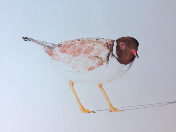 """Working on this Hooded Plover. Hopefully it will go some way to raise the profile of this threatened bird in Australia."" ‪#‎savethehoodie‬ John Lloyd https://www.instagram.com/johnlloyd_art/"
